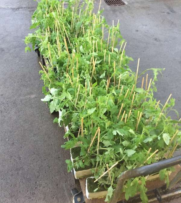 Young tomato plants delivered